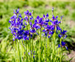 Purple irises bloom in the botanical garden