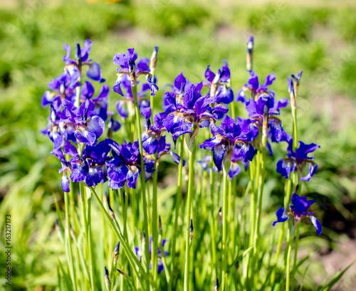 Plexiglas Iris Purple irises bloom in the botanical garden