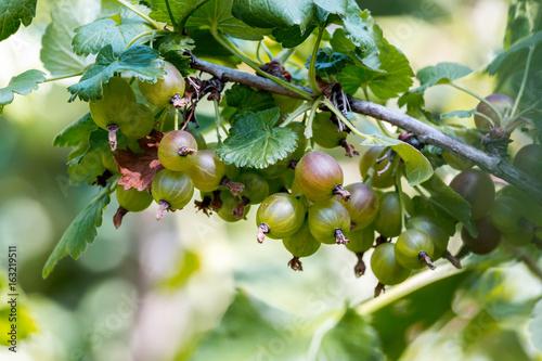 Mature gooseberry fruit on the bush
