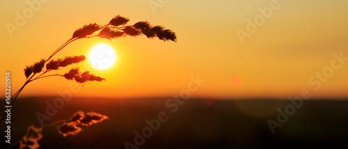 Foto op Plexiglas Bruin Wild grass in nature on a sunset background.