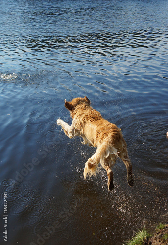 Top view of Dog Golden Retriever dives into the forest lake shore with a running, a moment before immersion in water