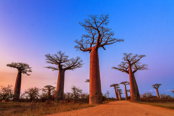 Beautiful Baobab trees after sunset at the avenue of the baobabs in Madagascar © dennisvdwater