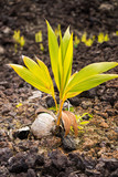 Kokosnusspalme wächst auf Lavafeld aus einer heruntergefallenen Kokosnuss