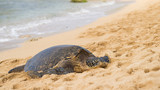 green sea turtle at haleiwa beach, Oahu, Hawai'i
