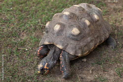Red-footed tortoise (Chelonoidis carbonaria).