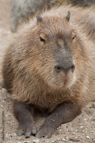 Capybara (Hydrochoerus hydrochaeris).