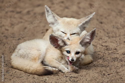 Fennec foxes (Vulpes zerda).