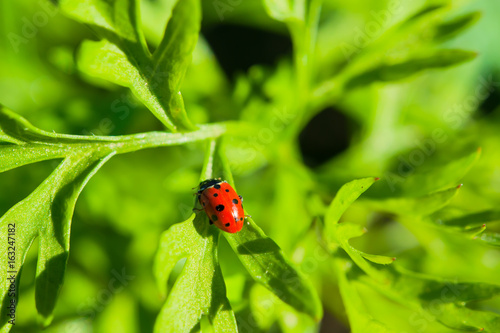 Insect ladybug on a stalk of green grass, summer landscape