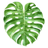 Watercolor monstera plant green leaf - 163257366
