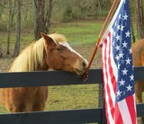 Horse standing beside United States flag - 163269347