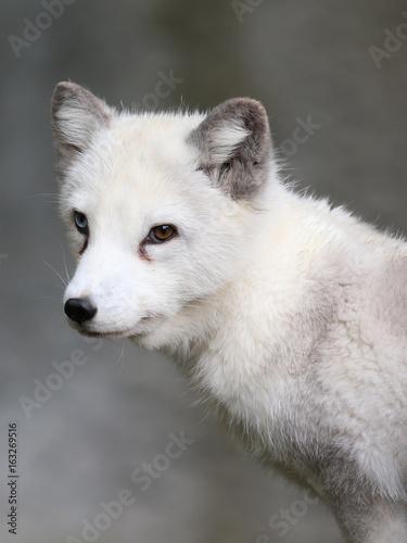 Polarfuchs mit 2 Augenfarben