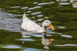 Pekin in Water