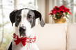 Portrait of a great dane wearing a holiday collar with pointsetta plant in the background.