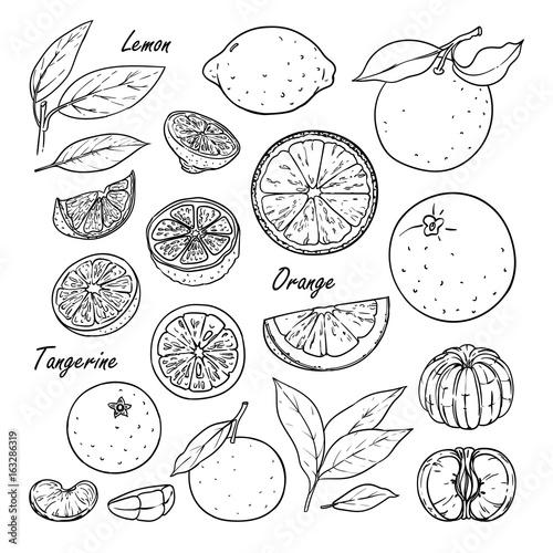 Set of vector citrus fruits: lemon, orange, tangerine. Hand drawn collection for design, isolated on white. Black lines sketch