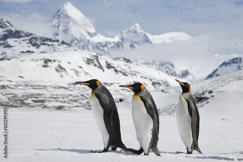 Aluminium Pinguin King penguins walk across a snow field in front of the beautiful mountains of South Georgia island
