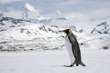 A lone king penguin cross a snowfield in front of the peaks of South Georgia Island