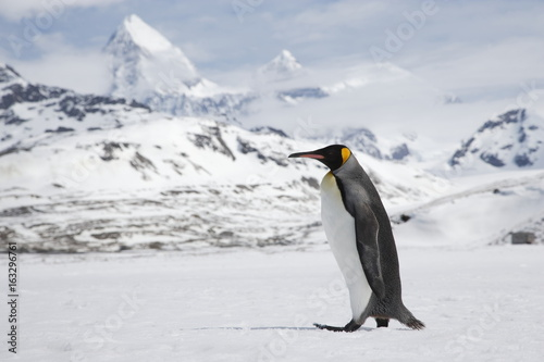 Fotobehang Antarctica A lone king penguin cross a snowfield in front of the peaks of South Georgia Island