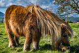 Brown miniature horse with long hair, Pony in the meadows, Lancashire, England, UK - 163297930