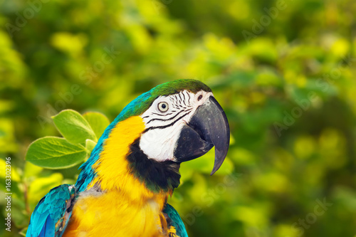 Green-winged macaw in wildness