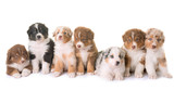puppies australian shepherd - 163327736