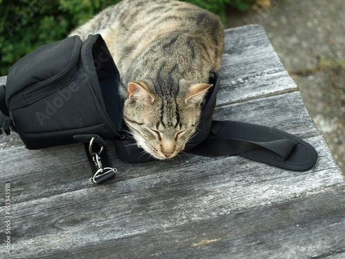 Tiger cat is sleeping on the photo bag Poster