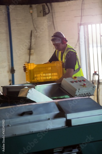Worker putting harvested olive in machine