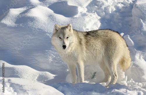 loup seul dans la neige