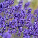 Echter Lavendel, Lavandula