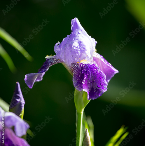 Beautiful blue iris flower in the nature
