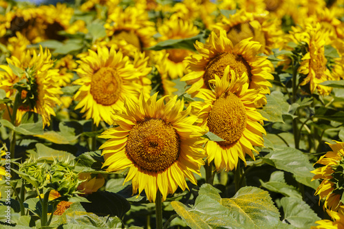 Foto op Canvas Geel The Sunflower in an agricultural field at the farm
