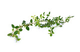 twig of fresh thyme on white background - 163373719