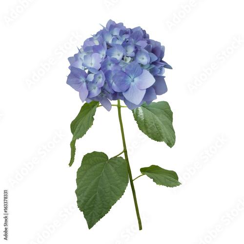 Fotobehang Hydrangea blue hydrangea flowers