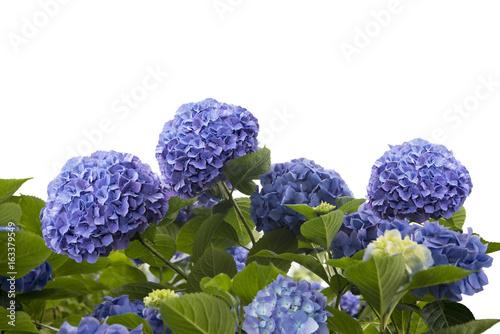 Plexiglas Hydrangea blue hydrangea flowers