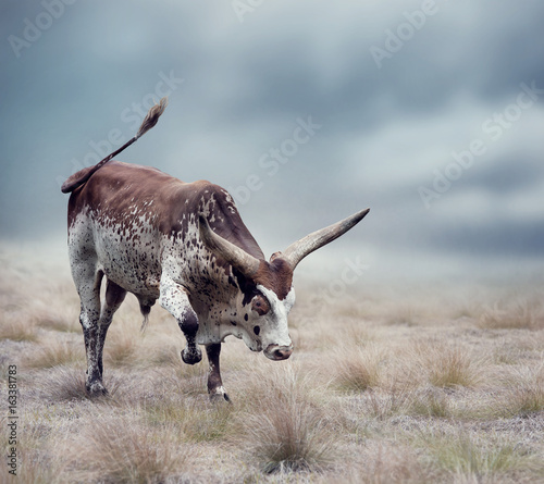 Brown and white longhorn steer - 163381783