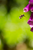 Pollination. Bumble bee with full polen sacs and proboscis extended ready to take nectar from foxglove garden flower. - 163381940