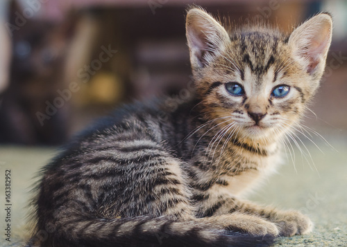 Portrait of a gray blue-eyed cat