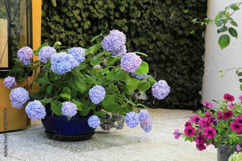 Hortensien auf der Terrasse