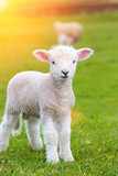 Small cute lamb gambolling in a meadow in a farm - 163393166