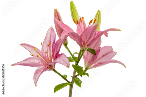 Flower of a pink lily, isolated on white background Poster