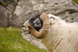 Scottish Blackface, Isle of Lewis - 163409127