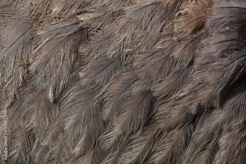 Greater rhea (Rhea americana). Plumage texture.