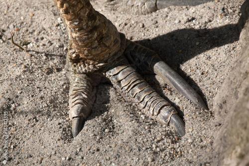 Southern cassowary (Casuarius casuarius)