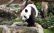 A Giant Panda walking around, Hong Kong, China