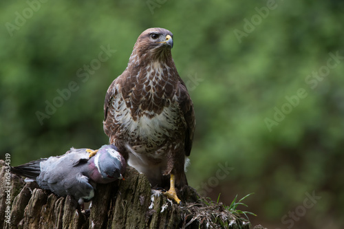 Common Buzzard (Buteo buteo)/Common Buzzard perched on prey in the centre of a f Poster