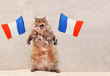 The big shaggy cat is very funny standing.France,flag 1
