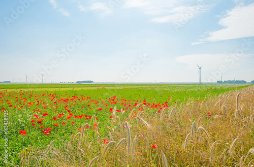 Poppies and wheat growing in a field in sunlight