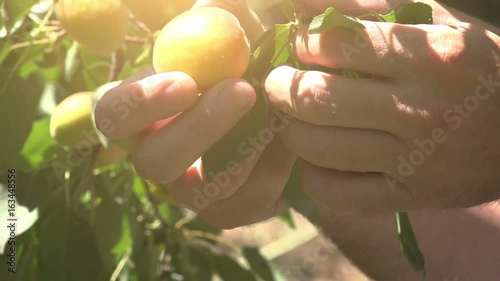 Hand picking ripe apricots in the orchard