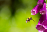 Bee flying towards foxglove flower. Bumblebee hovering at garden flower. Macro photography. - 163452972