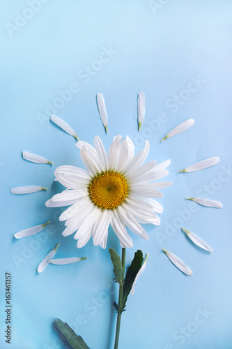 Daisy flower with petals on a blue background