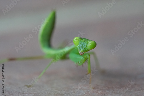 Closeup macro of green grasshopper looking into the camera isolated over gray blurred background